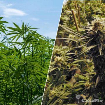 CoccoMio Hemp Marijuana Cannabis CBD